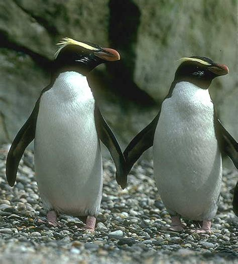 Crested Penguin | Animal Wildlife