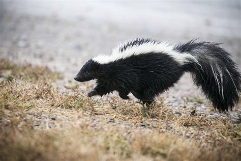 skunk removal why dealing with skunks stinks abc humane