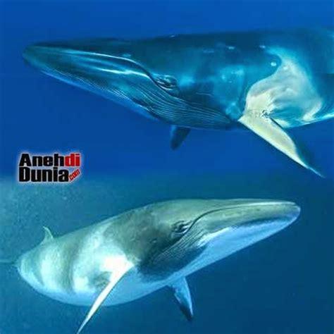 Ikan Paus Beras 2 5 Kg mamalia paus terbesar di dunia ippedia