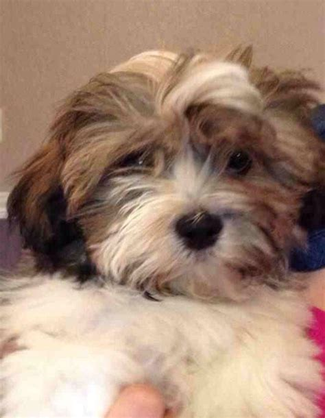 shih tzu cross for sale shih tzu cross breed crossbreed puppy for sale breeds picture