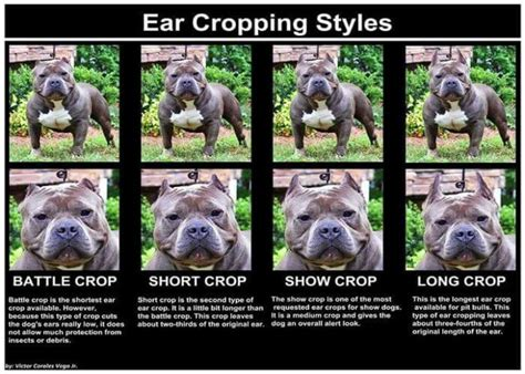 ear cropping price ear cropping in dogs price legality surgery aftercare