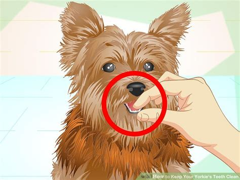 how to your yorkie how to keep your yorkie s teeth clean with pictures wikihow