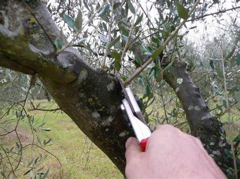 potatura olivo in vaso olivo coltivazione olivo come coltivare l olivo