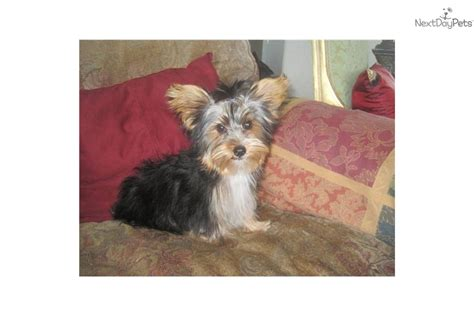 parti yorkie wiki parti yorkie grooming meet papa a terrier yorkie puppy for