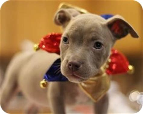 pitbull chihuahua mix puppy zeus adopted puppy sacramento ca chihuahua pit bull terrier mix