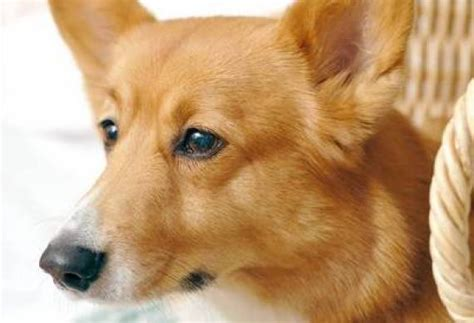 corgi puppy information pembroke corgi breed information puppies pictures