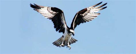 animali volanti falco pescatore pandion haliaetus animali volanti