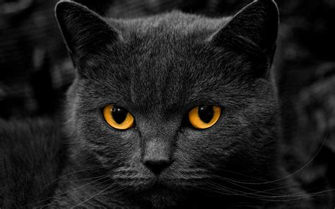 wallpaper black cat hd black cats hd wallpapers beautiful pictures images hd