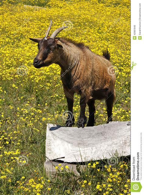 Bigyellow Lookup Big Yellow Goat Cheese Heads Stock Photo Cartoondealer 74012088