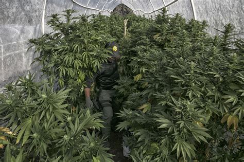 Siskiyou County Records Hmong Pot Growers In Siskiyou County Seeking Identity Profit Or Both