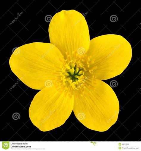 fiori di colore giallo fiore di colore giallo tagete di palude isolato sul
