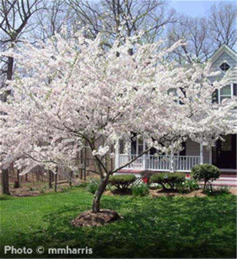 cherry blossom tree zone 5 buy affordable yoshino cherry trees at our nursery