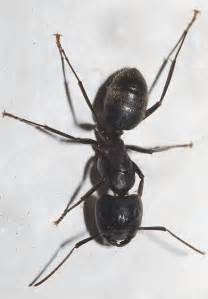 big black ants in bathroom large black ant conotus pennsylvanicus bugguide net