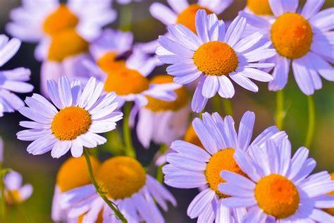 sognare fiori cosa significa sognare fiori di camomilla tutto sogni
