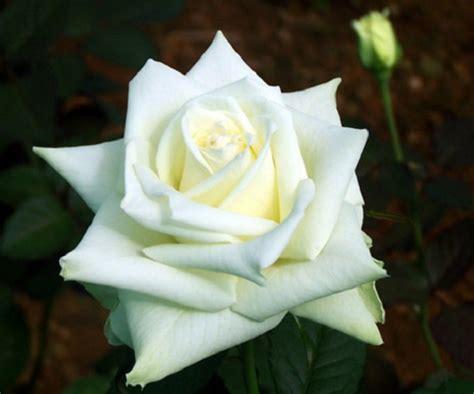 tanaman hias bunga mawar asli indonesia  cantik