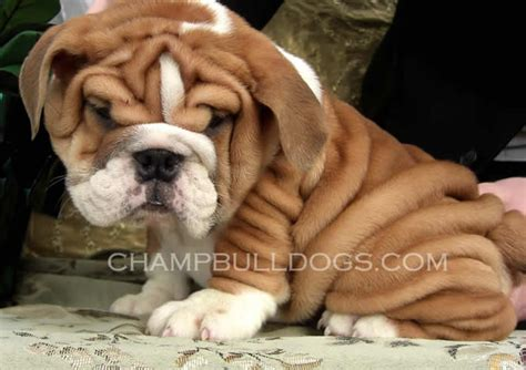 bulldog puppy pictures bulldog puppies for sale bulldogs bulldog breeders