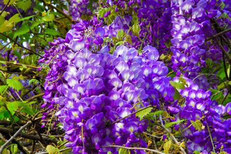wisteria flower wisteria flower meaning flower meaning