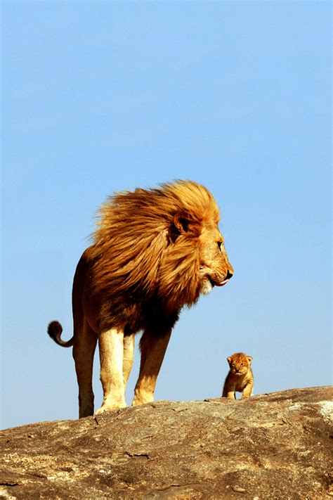 lion king iphone wallpaper wallpapersafari