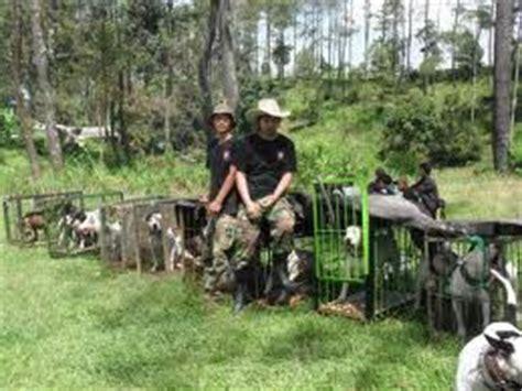 adu bagong sumedang sai mati philantproduct adu bagong pertarungan anjing vs babi hutan