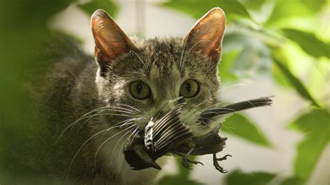 killer kitties cats kill billions of creatures every year