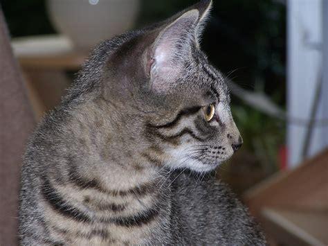 tabby cat wikipedia file tabby cat 100 4924 jpg