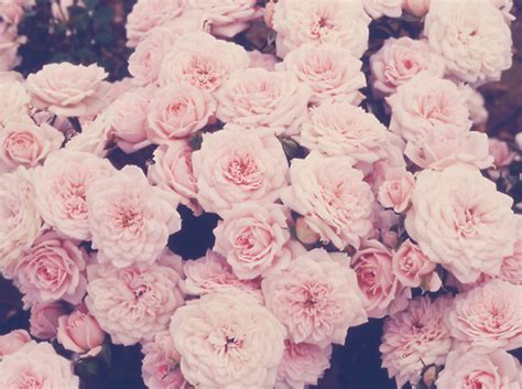 themes of rose roses background tumblr themes