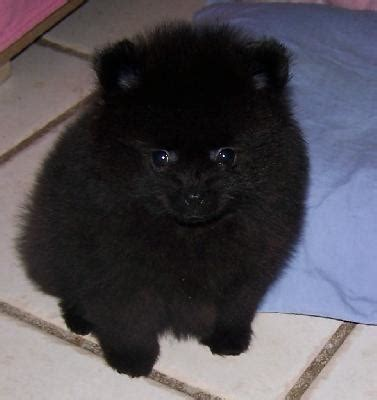 teacup pomeranian info pomeranian black pomeranian black tiny teacup pomeranian puppy
