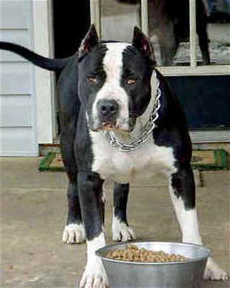 alimentazione amstaff free pitbull quanto deve mangiare un pit bull