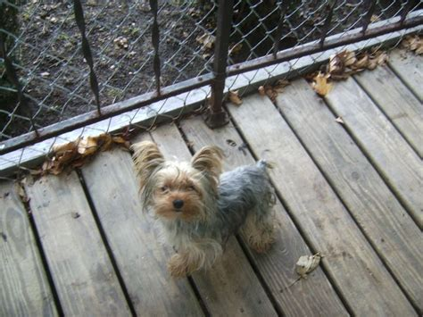 blue and gold yorkie puppies 17 best images about blue and gold yorkie puppies on hair other and i