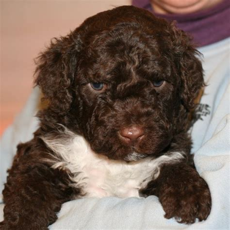 pwd puppies 48 best images about portuguese water dogs on