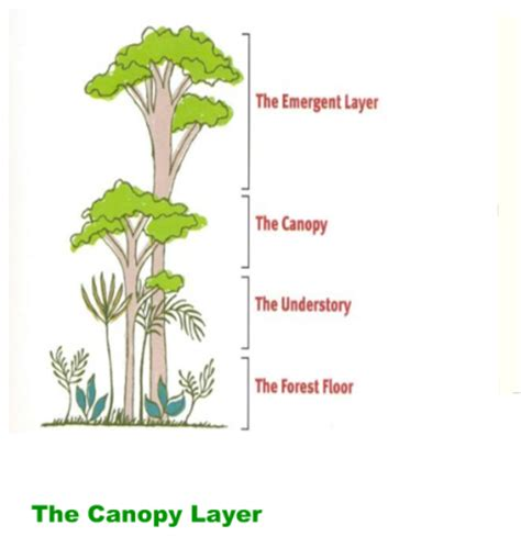 What Does Canopy In The Rainforest Smart Exchange Usa Rainforest Animals Canopy Layer