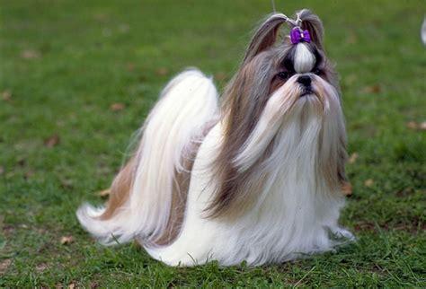shih tzu as a pet cachorro pet shih tzu ideias e dicas