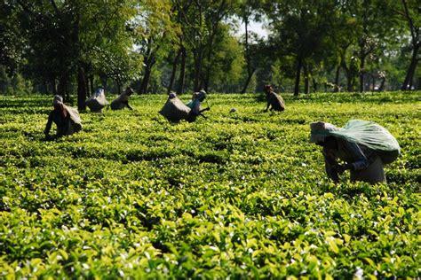 Tea Gardens by Tea Gardens At Dibrugarh Assam