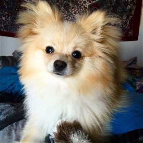 how much is pomeranian puppies price cost of pomeranian puppies