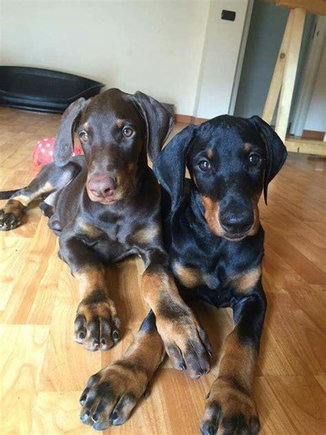doberman puppy rescue 1000 images about greyhounds dobermans on adoption doberman pinscher