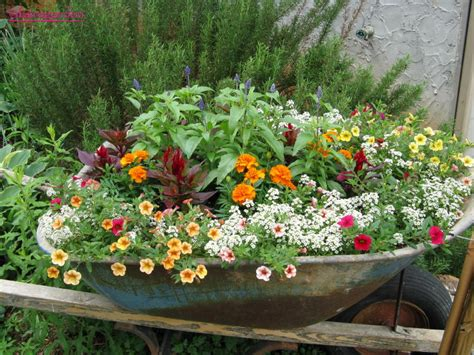 Wheelbarrow Planter Ideas cheerful calibrachoa on petunias plant