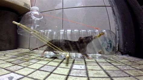 membuat perangkap tikus  botol bekas