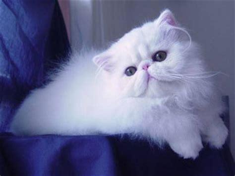 gatti persiani bianchi gattipersiani it gatti persiani