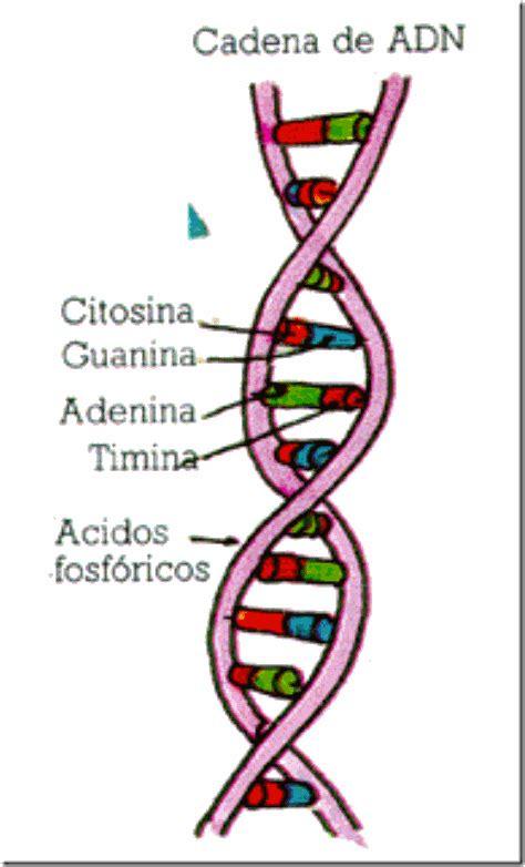 cantidad de cadenas del adn biologia adn