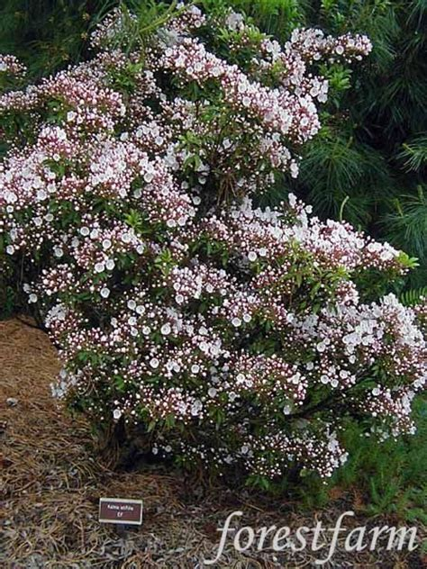 56 best images about shrubs on gardens st