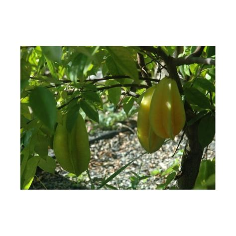 fruit tree seeds fruit tree seeds seedarea