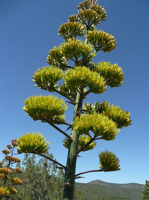 flowering and its trigger in genus agave gardenriots