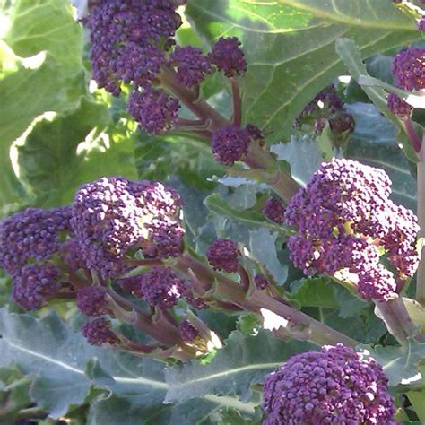 top 28 early purple sprouting broccoli early purple
