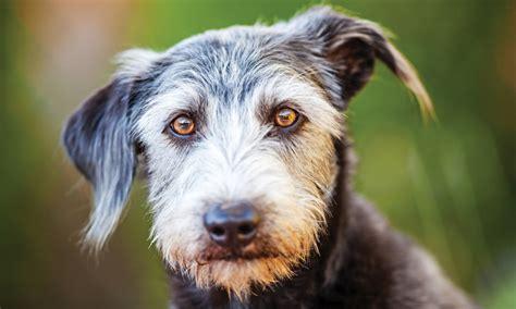 hematochezia in dogs cloacal prolapse in a bearded clinician s brief
