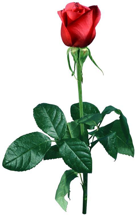 imagenes png tranparentes zoom dise 209 o y fotografia rosas rose png transparente en