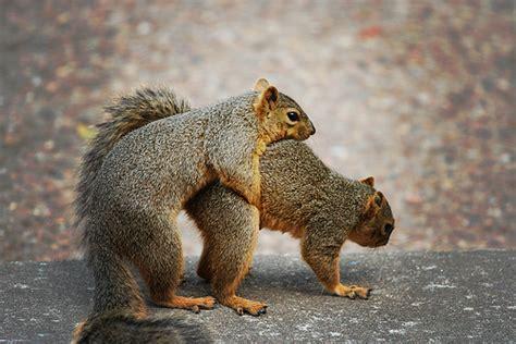 Squirrel having sex