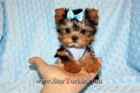photos of teacup yorkies 10 cutest yorkie puppies 10 cutest yorkie puppies in the