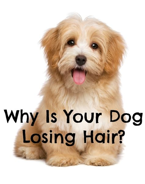 puppy hair loss best 25 hair loss ideas on hair loss in dogs hair follicles and