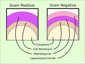 gram positive is what color bioproess tech102 ibg 102 lab report 1