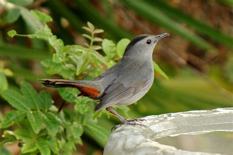joan and dan s birding blog gray catbird